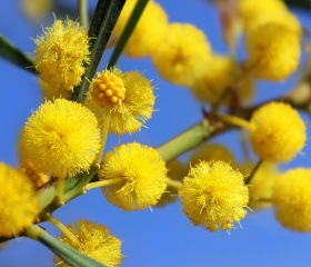 Mimosa detalhe